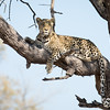 Leopard in tree-4337