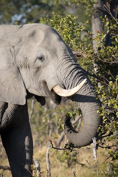 Elephant eat-9428
