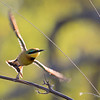 Bee-Eater, Little flight-1959