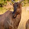 Tsessebe-fastest antelope-8990