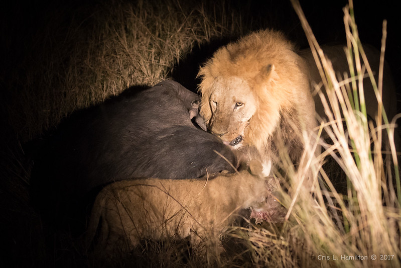 Lion male & cub feed at night 1200-3632
