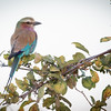 Lilac-breasted roller-9106
