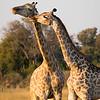 Giraffes-0652