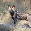 Dog wild-4689