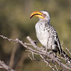 Hornbill, southern Yellow-billed-9520