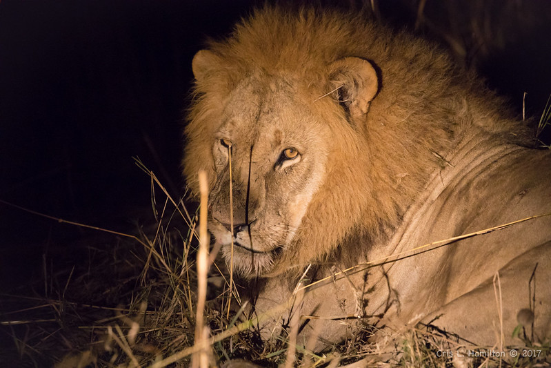 Lion male at night 1200-1852
