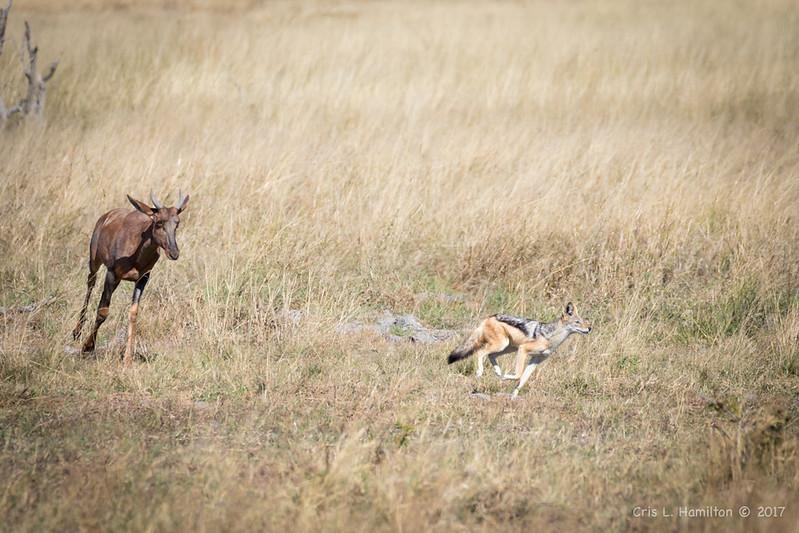 Tsessebe chasing jackal-1860