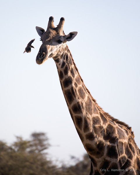 Giraffe w Yellow-billed oxp-1247