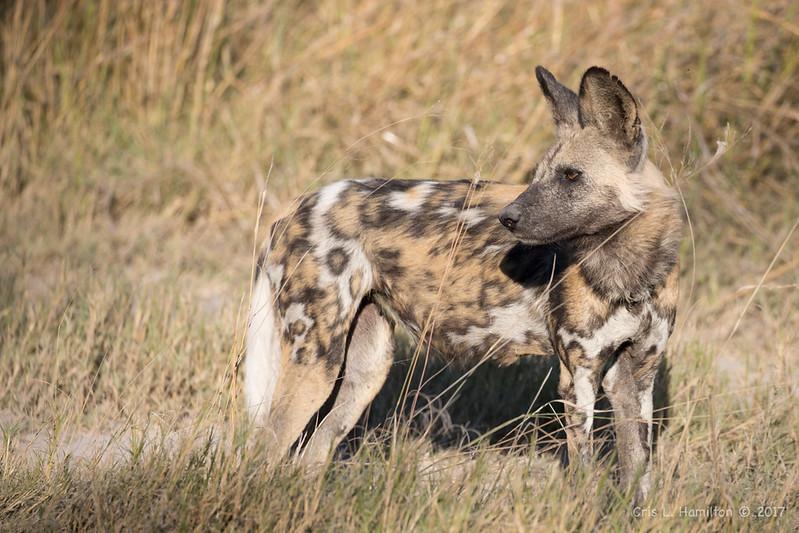African Wild Dog 1200-4709