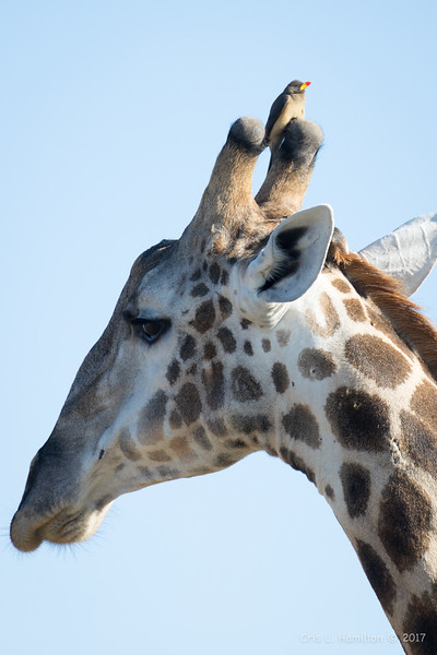 Giraffe w Yellow-billed oxp-1279