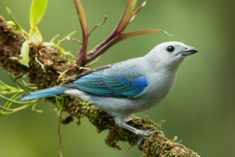 Tanager-Blue-gray-1948