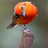Tanager-Flame-colored-male-2143