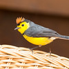 Redstart-collared-5559