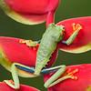 Frog-Gaudy-leaf-2370