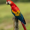 Macaw-Scarlet-9899