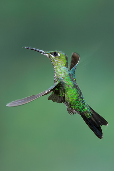 Hummer-Green-Crowned-Brilliant-0223