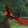 Macaw-Scarlet-0939