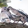 Dove-White-winged-5862