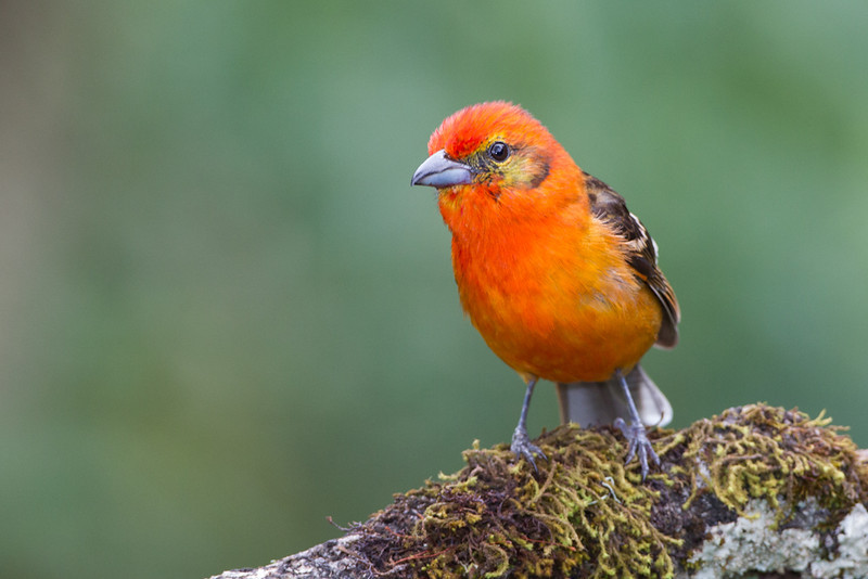 Tanager-Flame-colored-male-2128