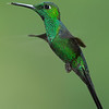 Hummer-Green-Crowned-Brilliant-0158