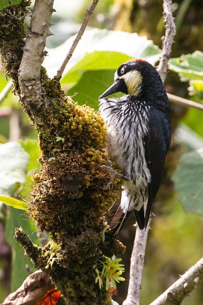Woodpecker Acorn -Preening-1846