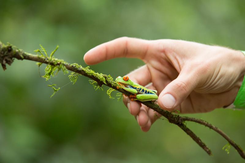 Frog-Gaudy-leaf-2426