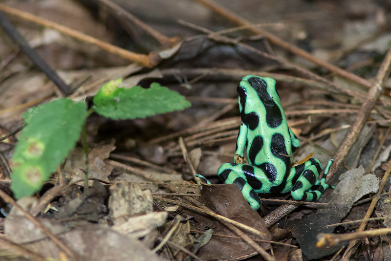 Dart-Frog-Black-&-Green-1584