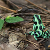 Dart-Frog-Black-&-Green-1584