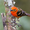Tanager-Flame-colored-male-2145