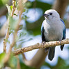 Tanager-Blue-gray-0167