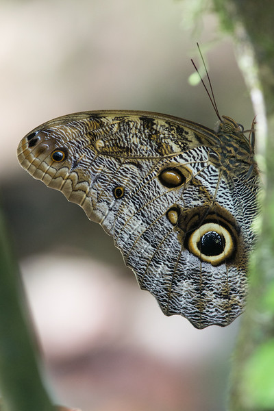 Butterfly Blue Morpho ?-1646