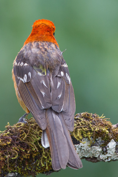 Tanager-Flame-colored-male-2129