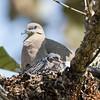 Dove-White-winged-0004