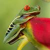 Frog-Gaudy-Leaf-2415
