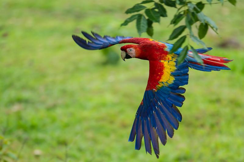 Macaw-Scarlet-0897