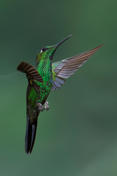 Hummer-Green-Crowned-Brilliant?-0254