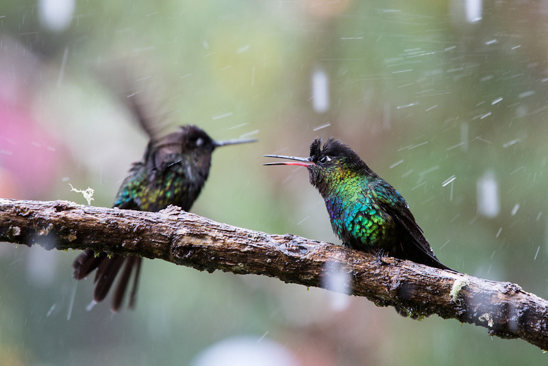 Hummingbird-Fiery-Throated-3774