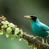Honeycreeper-Green-Male-
