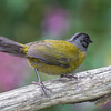 Finch-large-footed-2155