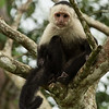 Capuchin-White-Throated-9973