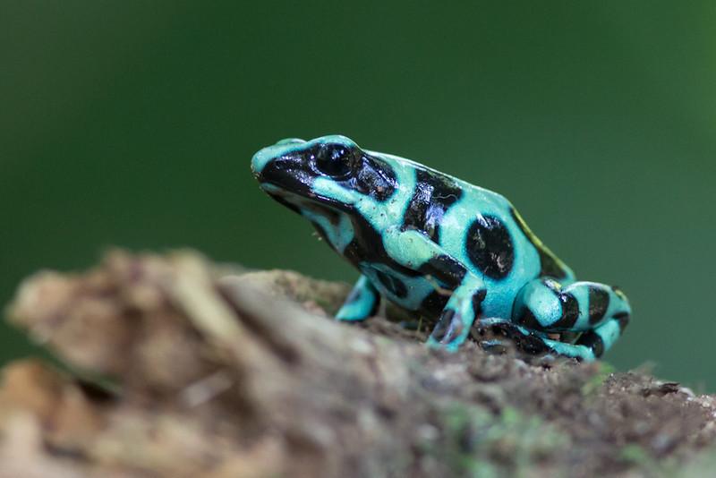 Dart-Frog-Black-&-Green-1688