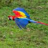 Macaw-Scarlet-0934