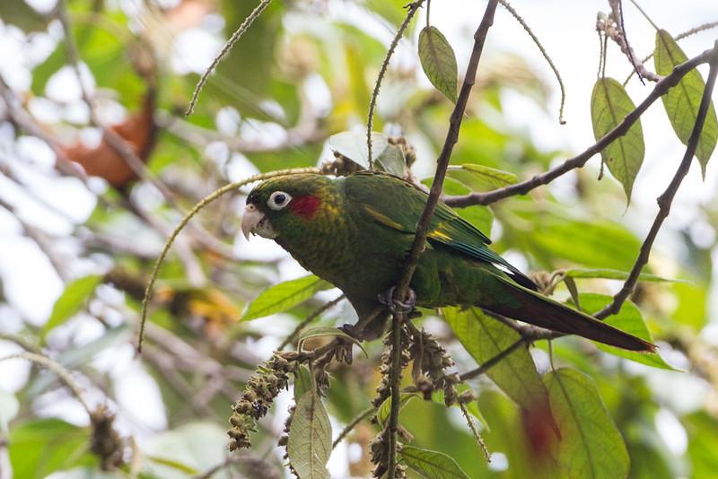 Parakeet Sulphur-winged-1955