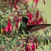 Flower-hummer-4992
