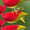 Frog-Gaudy-leaf-2360