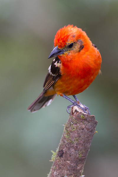 Tanager-Flame-colored-male-2142