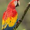 Macaw-Scarlet-9887