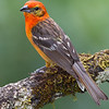 Tanager-Flame-colored-male-2108