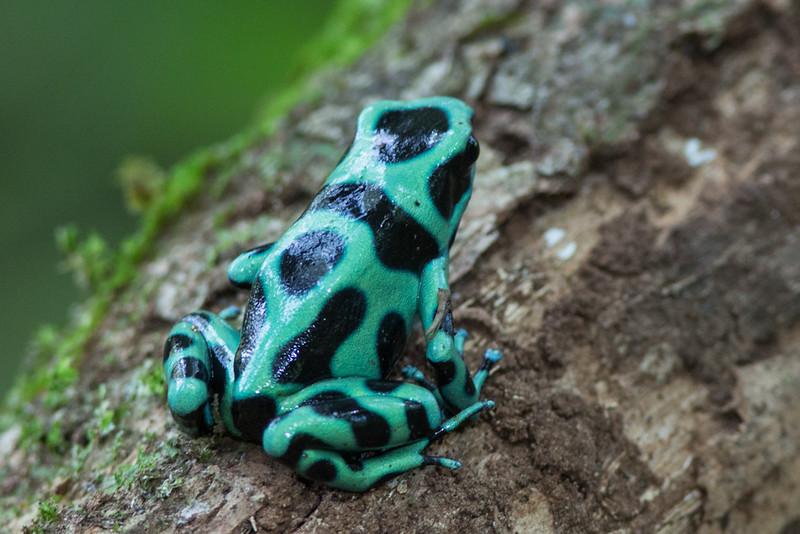 Dart-Frog-Black-&-Green-1662