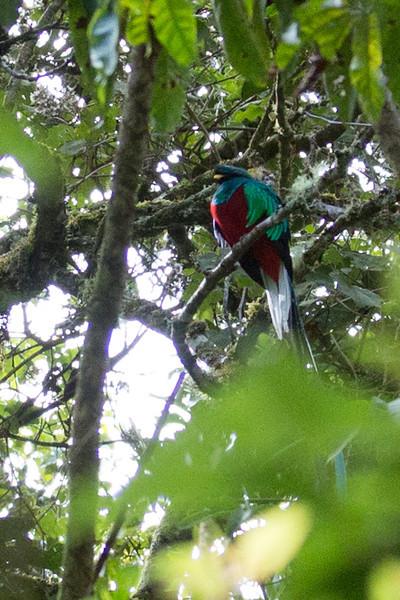 Quetzal-5098